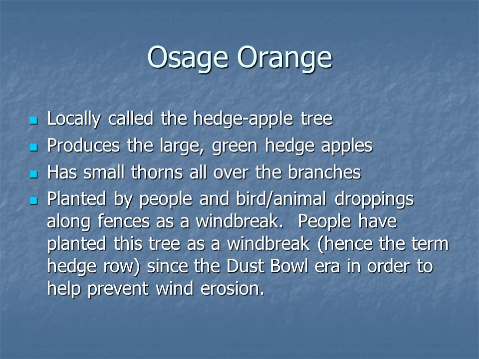 Osage Orange Locally called the hedge-apple tree