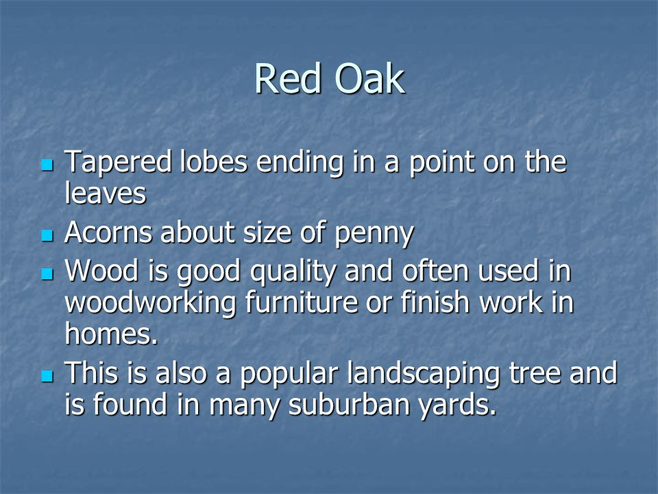 Red Oak Tapered lobes ending in a point on the leaves