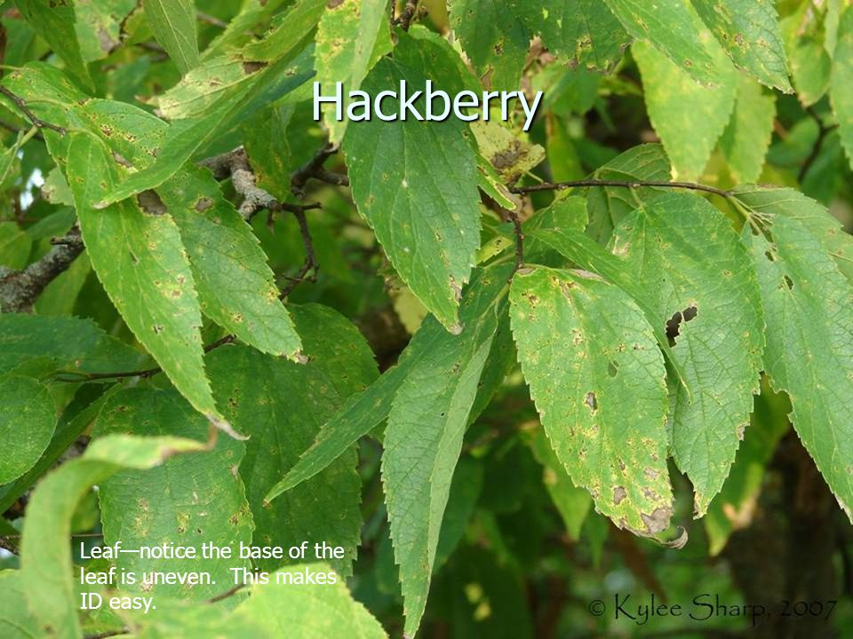Hackberry Leaf—notice the base of the leaf is uneven. This makes ID easy.