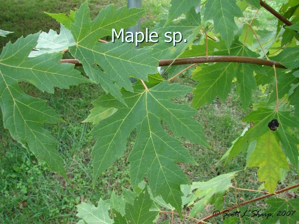 Maple sp.