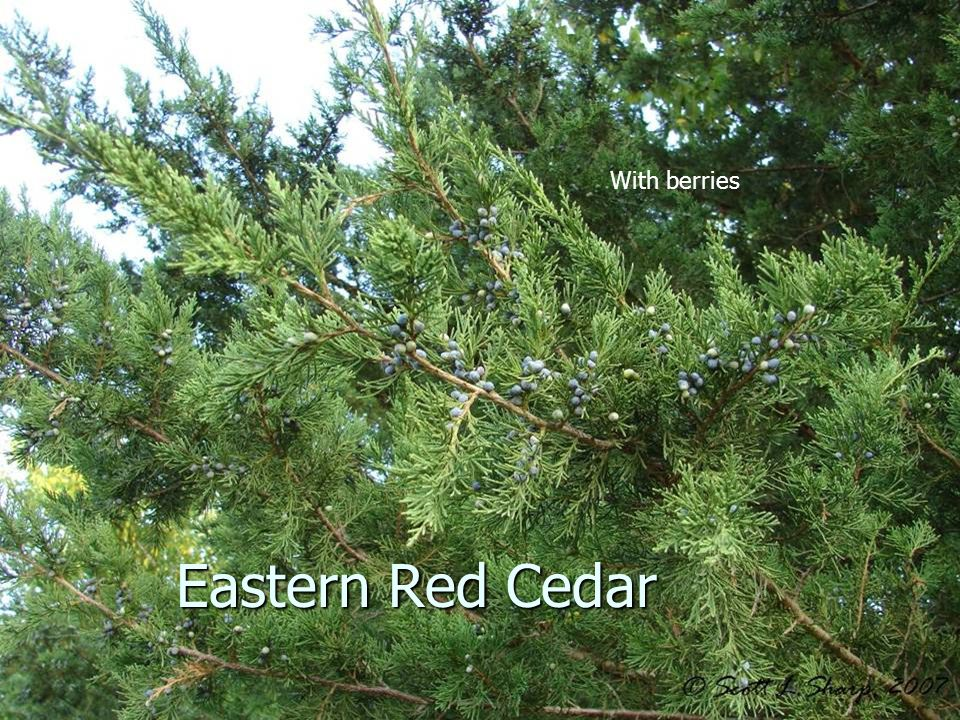 With berries Eastern Red Cedar