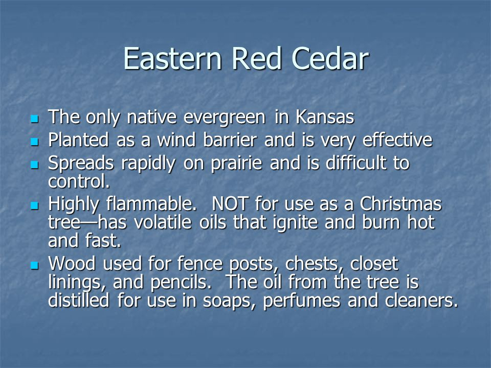 Eastern Red Cedar The only native evergreen in Kansas