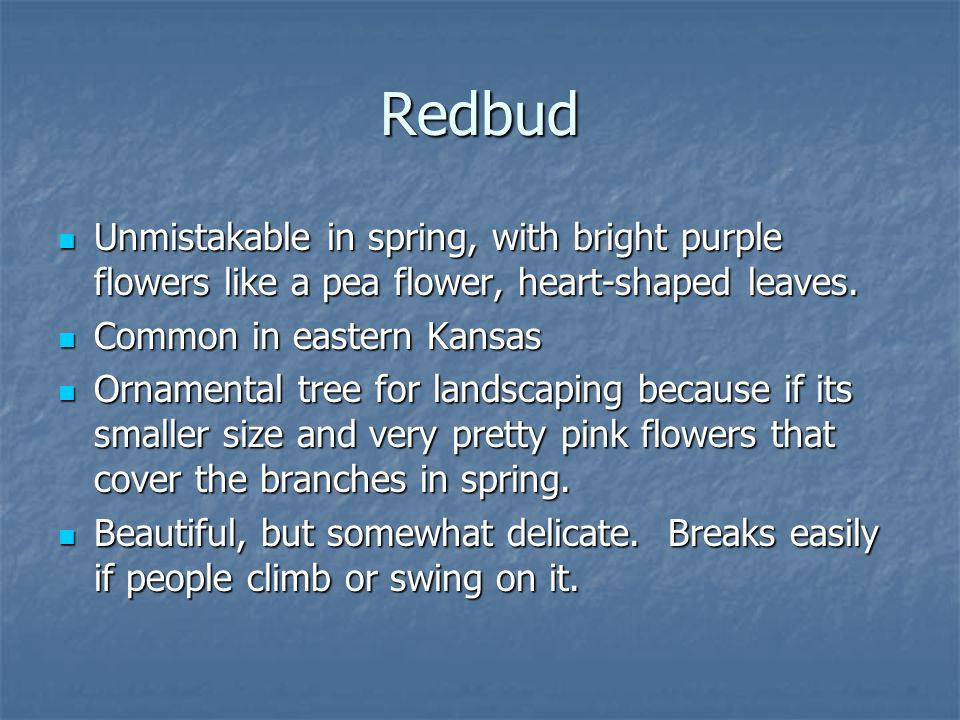 Redbud Unmistakable in spring, with bright purple flowers like a pea flower, heart-shaped leaves. Common in eastern Kansas.