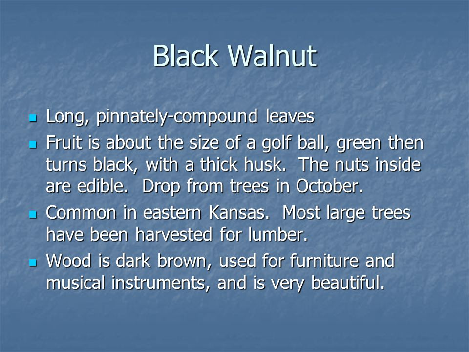 Black Walnut Long, pinnately-compound leaves