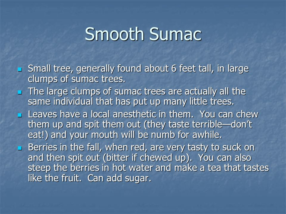 Smooth Sumac Small tree, generally found about 6 feet tall, in large clumps of sumac trees.