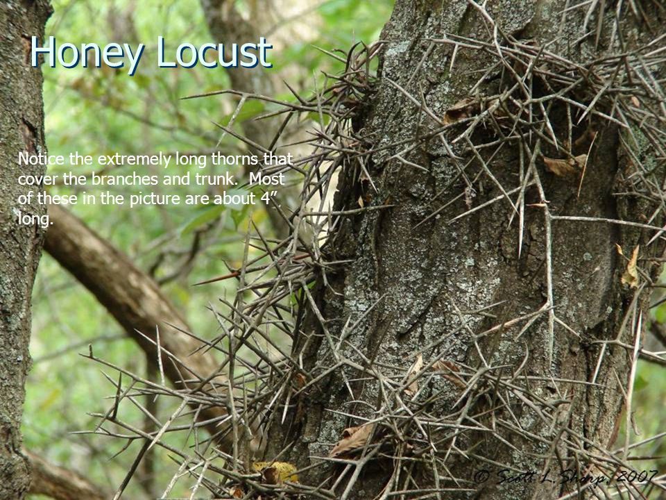 Honey Locust Notice the extremely long thorns that cover the branches and trunk.