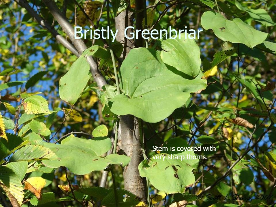 Bristly Greenbriar Stem is covered with very sharp thorns.