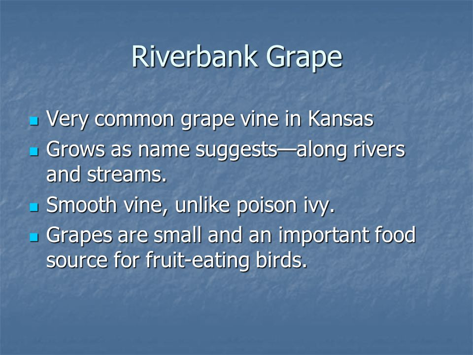 Riverbank Grape Very common grape vine in Kansas