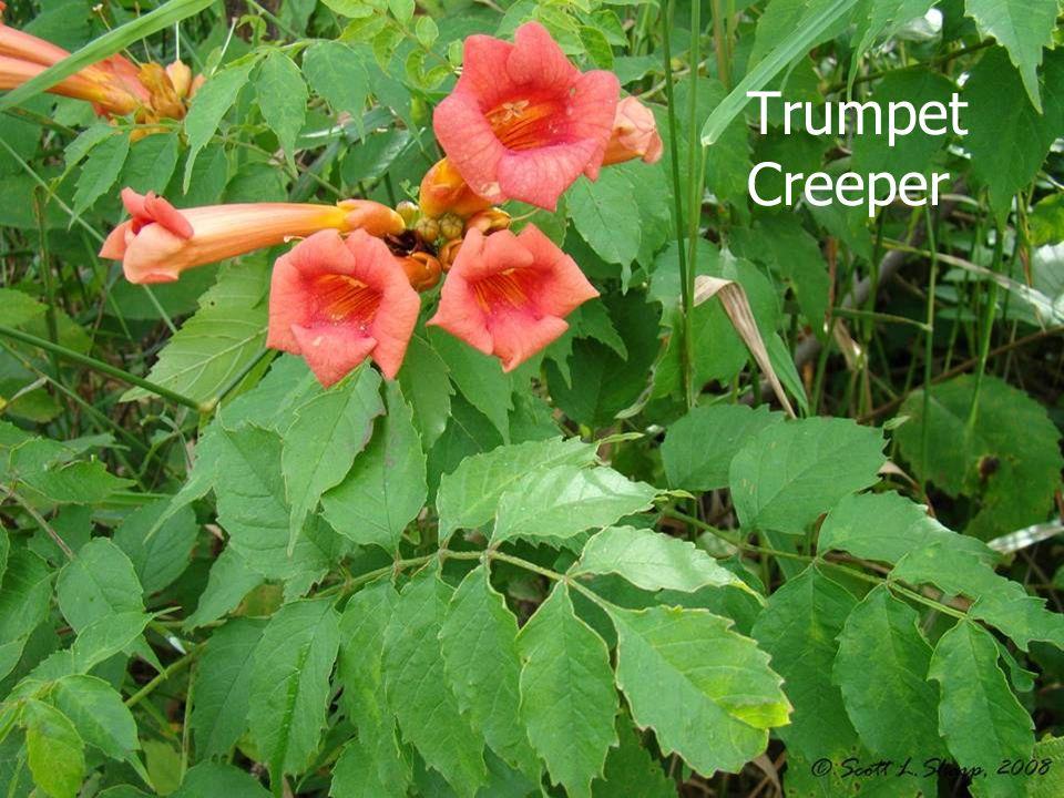 Trumpet Creeper