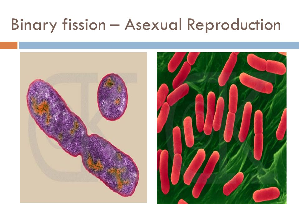 Binary fission – Asexual Reproduction