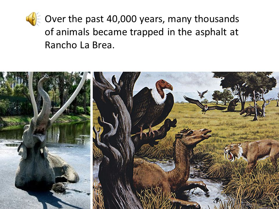 Over the past 40,000 years, many thousands of animals became trapped in the asphalt at Rancho La Brea.