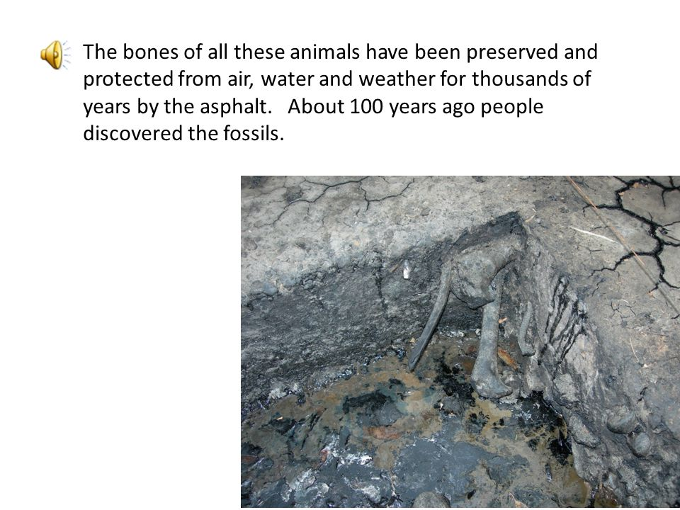 The bones of all these animals have been preserved and protected from air, water and weather for thousands of years by the asphalt.
