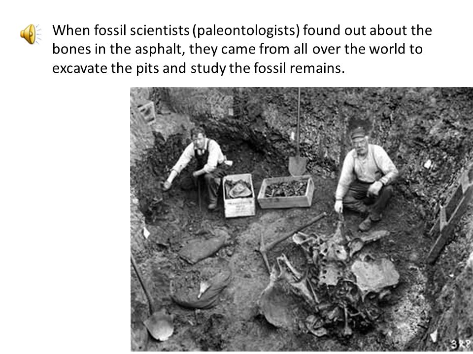 When fossil scientists (paleontologists) found out about the bones in the asphalt, they came from all over the world to excavate the pits and study the fossil remains.