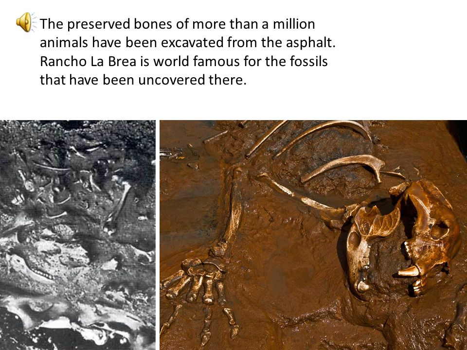 The preserved bones of more than a million animals have been excavated from the asphalt. Rancho La Brea is world famous for the fossils that have been uncovered there.