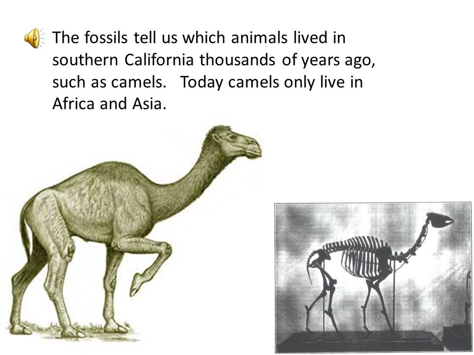 The fossils tell us which animals lived in southern California thousands of years ago, such as camels. Today camels only live in Africa and Asia.
