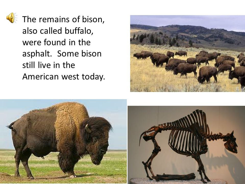 The remains of bison, also called buffalo, were found in the asphalt