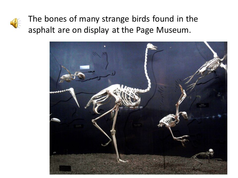 The bones of many strange birds found in the asphalt are on display at the Page Museum.