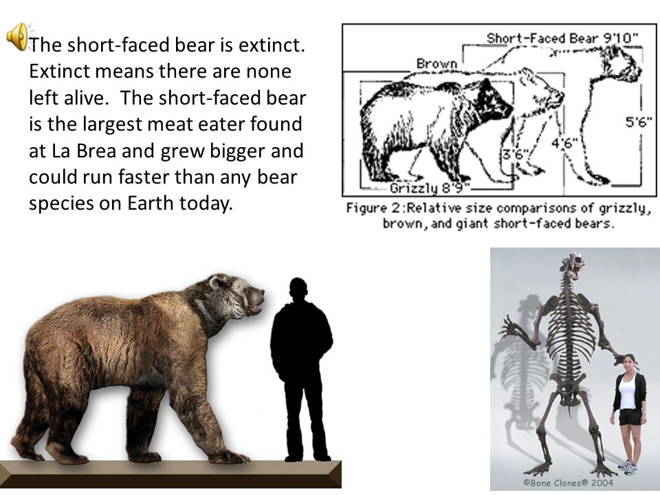 The short-faced bear is extinct
