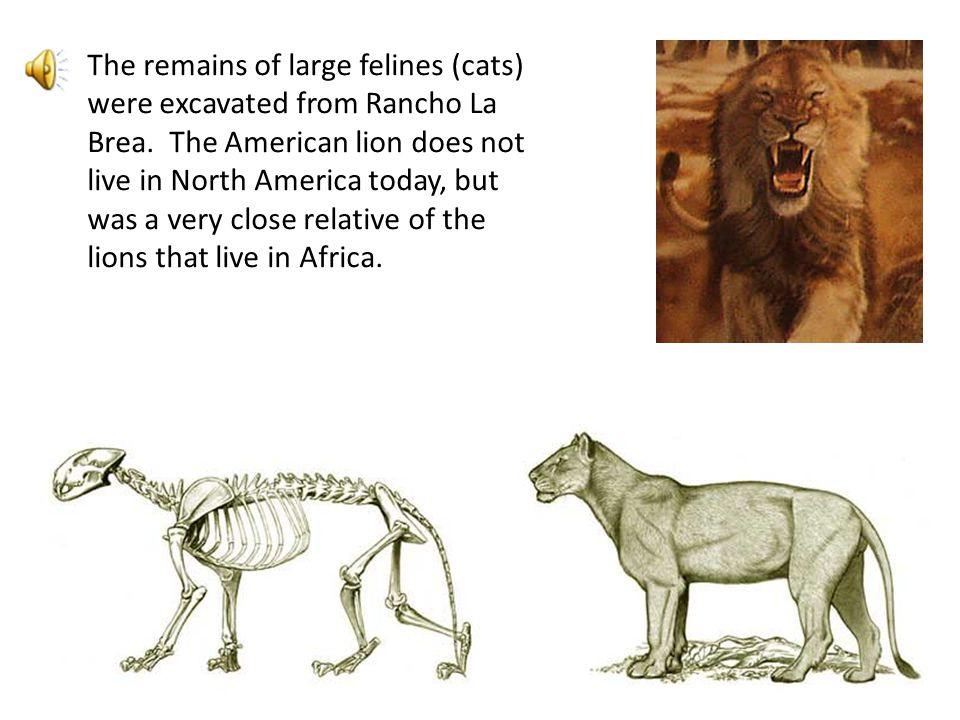 The remains of large felines (cats) were excavated from Rancho La Brea