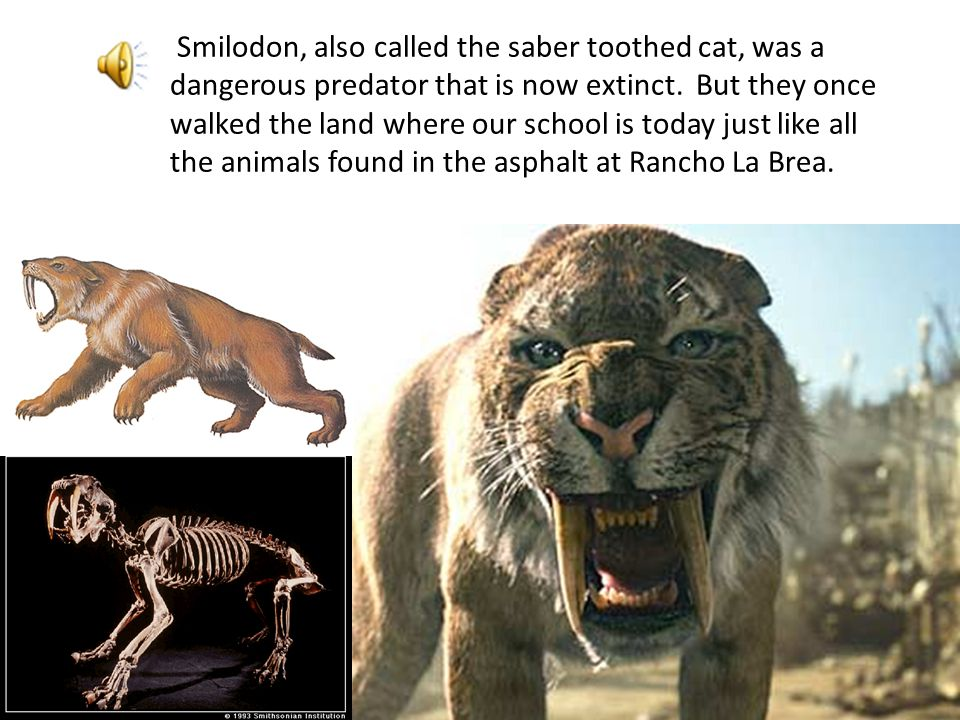 Smilodon, also called the saber toothed cat, was a dangerous predator that is now extinct. But they once walked the land where our school is today just like all the animals found in the asphalt at Rancho La Brea.