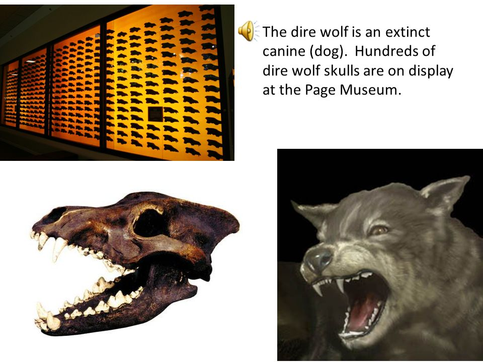 The dire wolf is an extinct canine (dog)