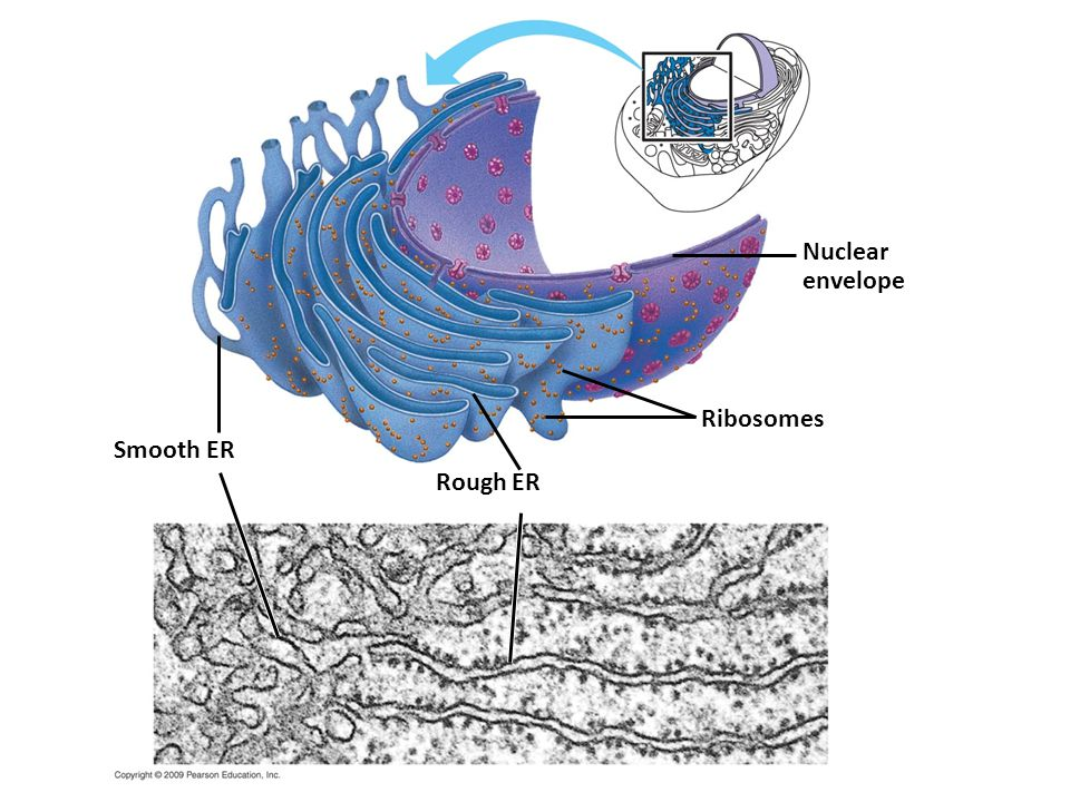 Nuclear envelope Ribosomes Smooth ER Rough ER