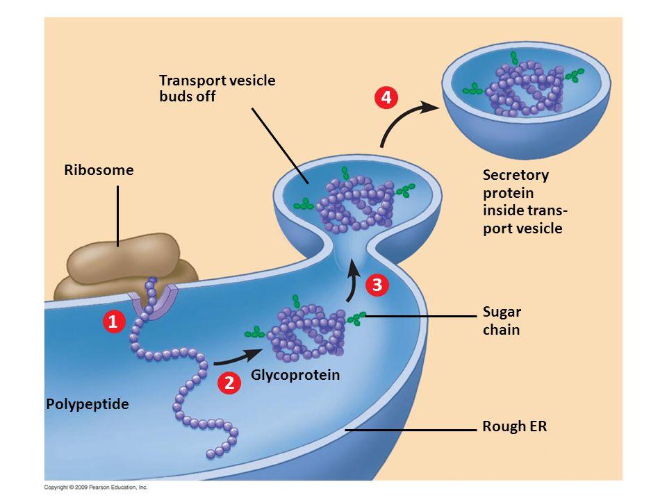 4 3 1 2 Transport vesicle buds off Ribosome Secretory protein