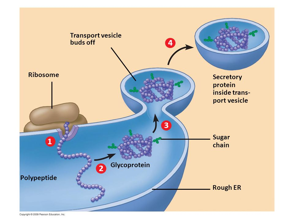 Transport vesicle buds off Ribosome Secretory protein