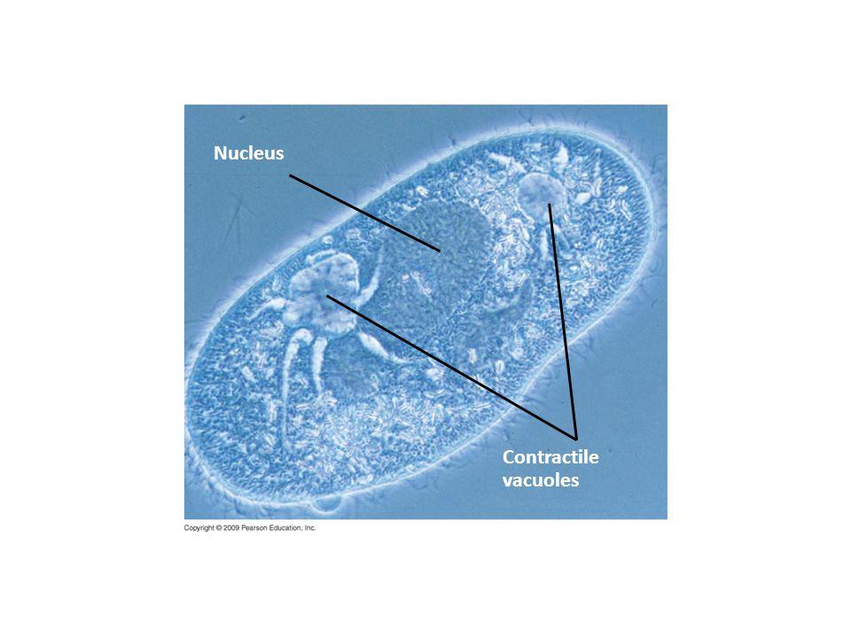Nucleus Contractile vacuoles
