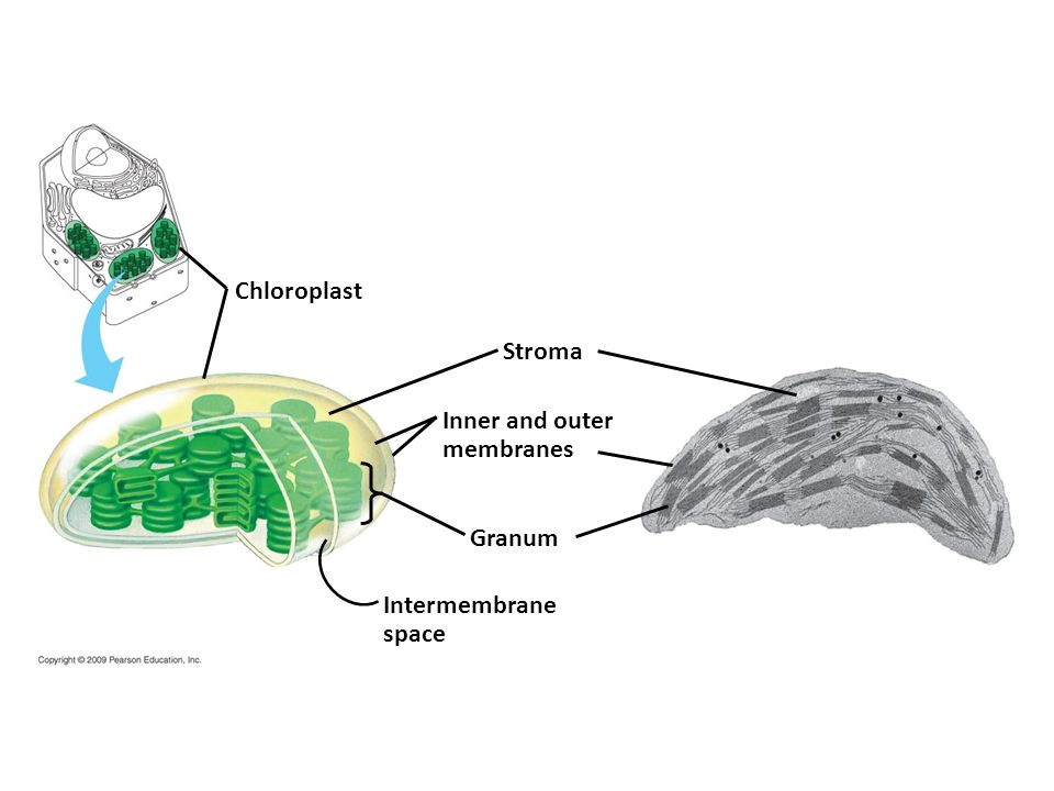Chloroplast Stroma Inner and outer membranes Granum Intermembrane