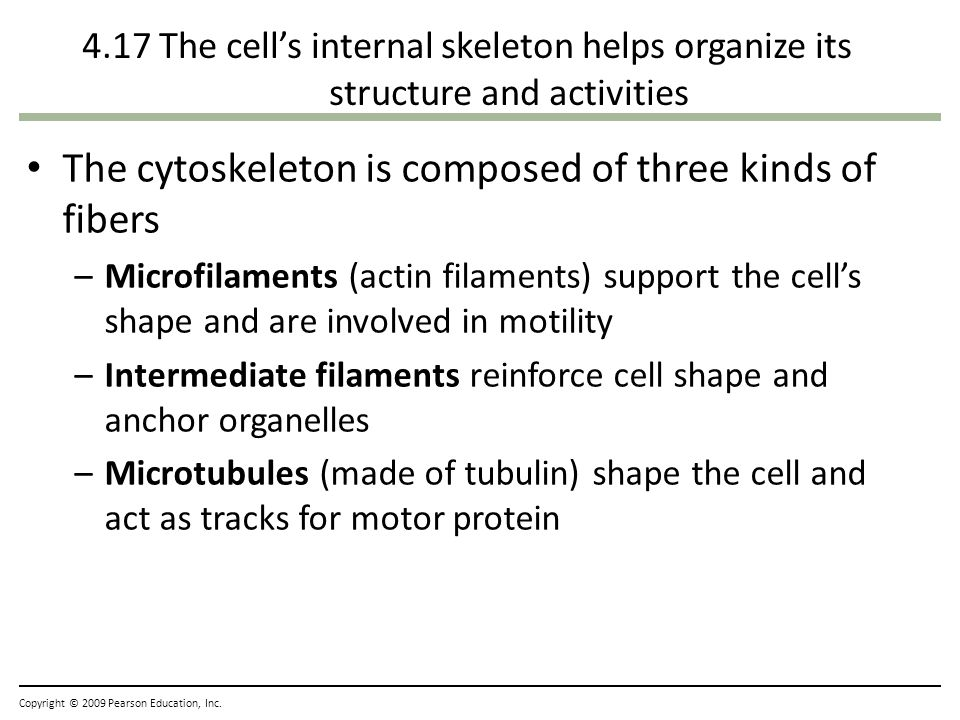 The cytoskeleton is composed of three kinds of fibers