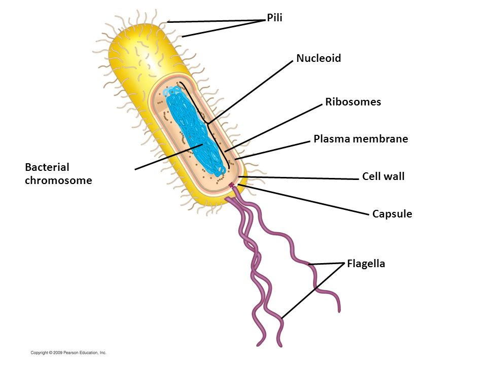 Pili Nucleoid Ribosomes Plasma membrane Bacterial chromosome Cell wall
