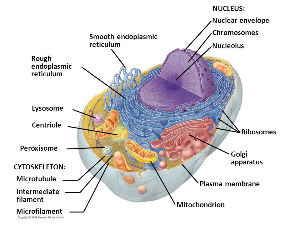 NUCLEUS: Nuclear envelope Chromosomes Smooth endoplasmic reticulum