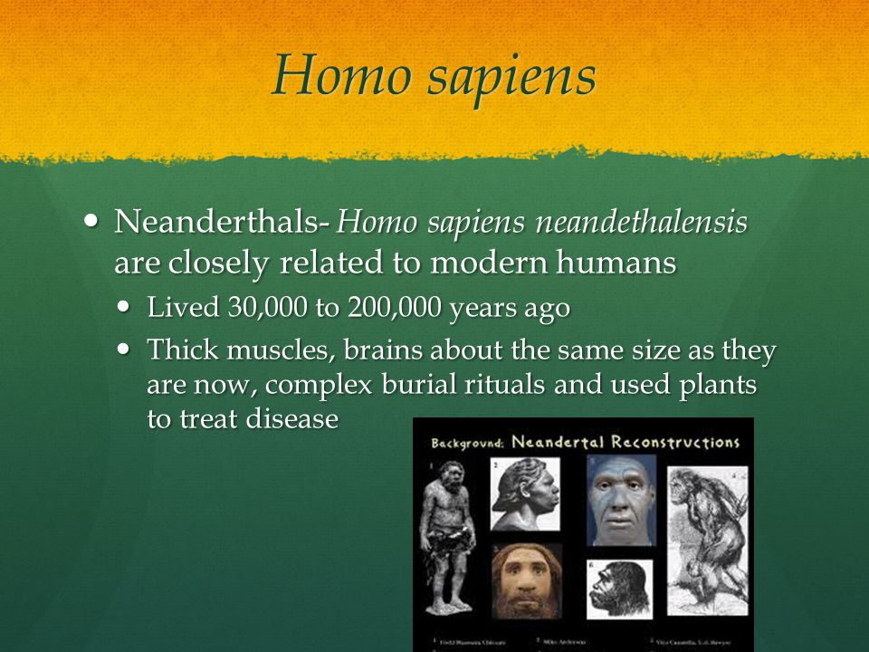 Homo sapiens Neanderthals- Homo sapiens neandethalensis are closely related to modern humans. Lived 30,000 to 200,000 years ago.