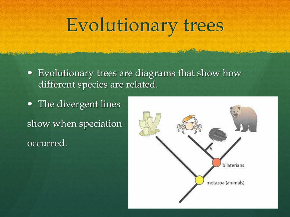 Evolutionary trees Evolutionary trees are diagrams that show how different species are related. The divergent lines.