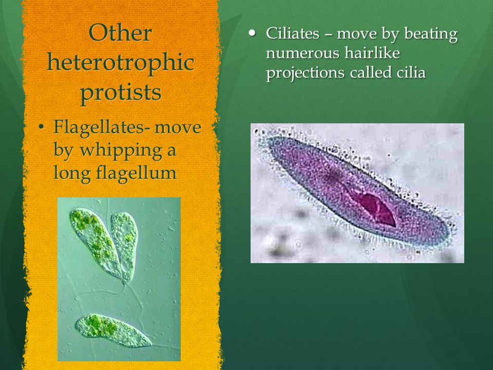 Other heterotrophic protists