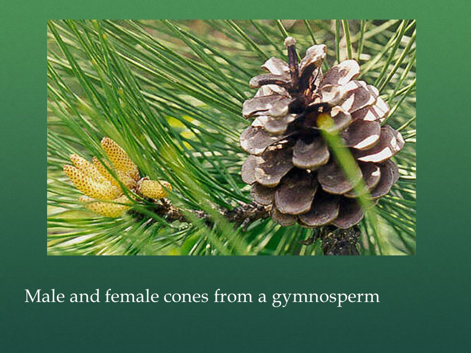 Male and female cones from a gymnosperm