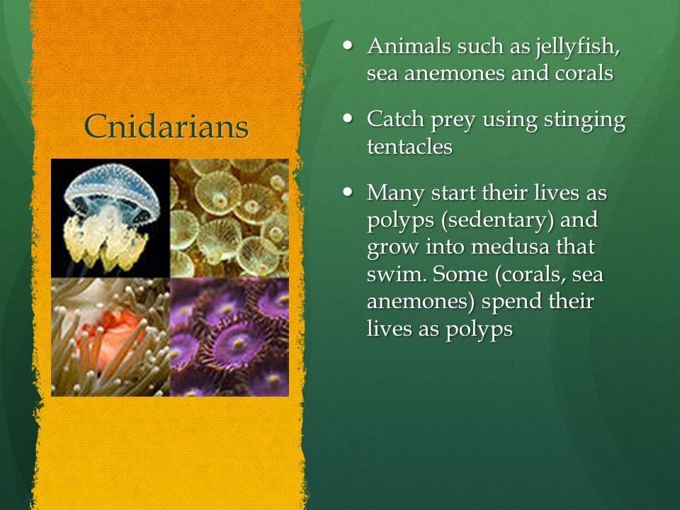 Cnidarians Animals such as jellyfish, sea anemones and corals