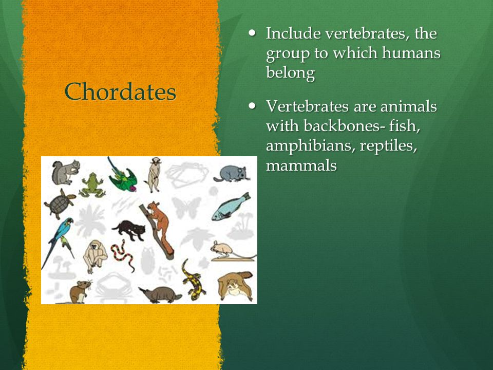 Chordates Include vertebrates, the group to which humans belong