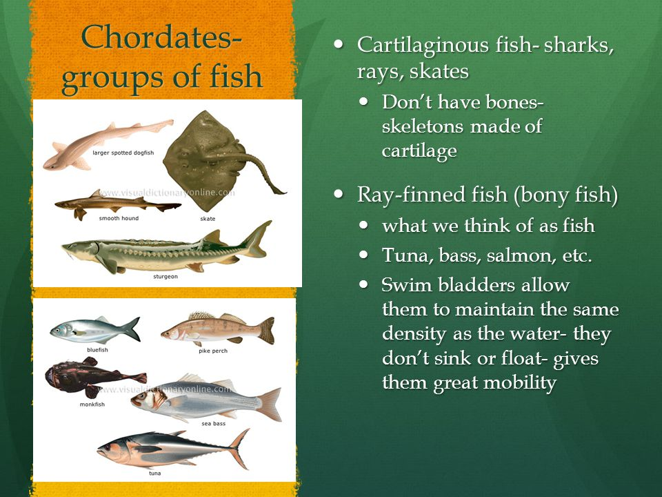 Chordates- groups of fish