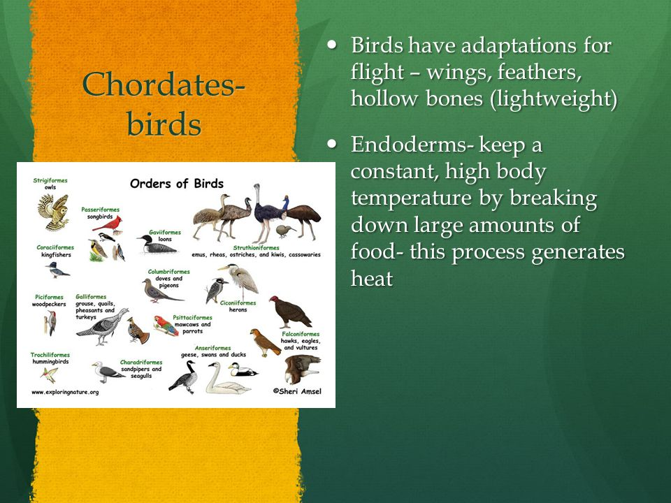 Chordates- birds Birds have adaptations for flight – wings, feathers, hollow bones (lightweight)