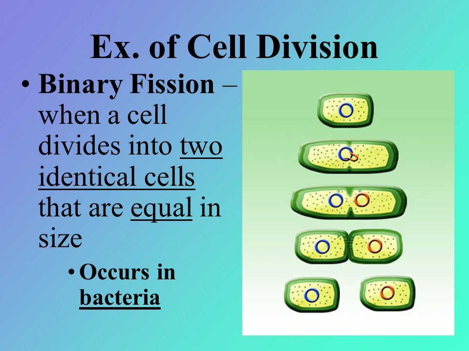 Ex. of Cell Division Binary Fission – when a cell divides into two identical cells that are equal in size.