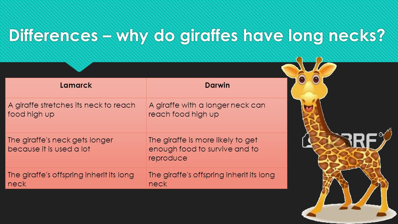 Differences – why do giraffes have long necks