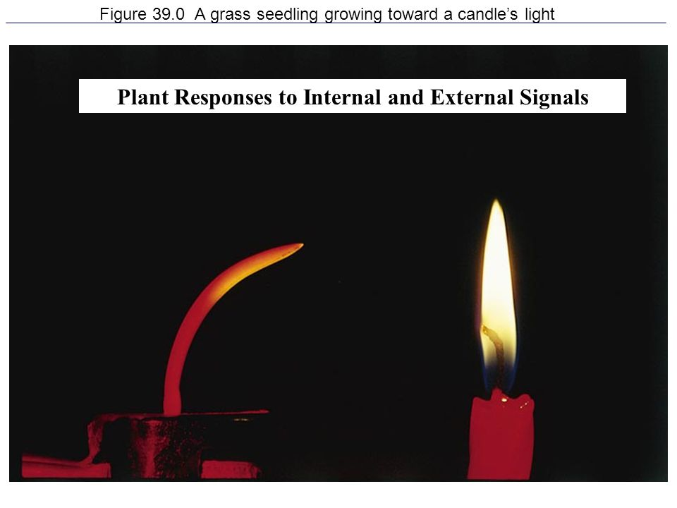 Figure 39.0 A grass seedling growing toward a candle's light