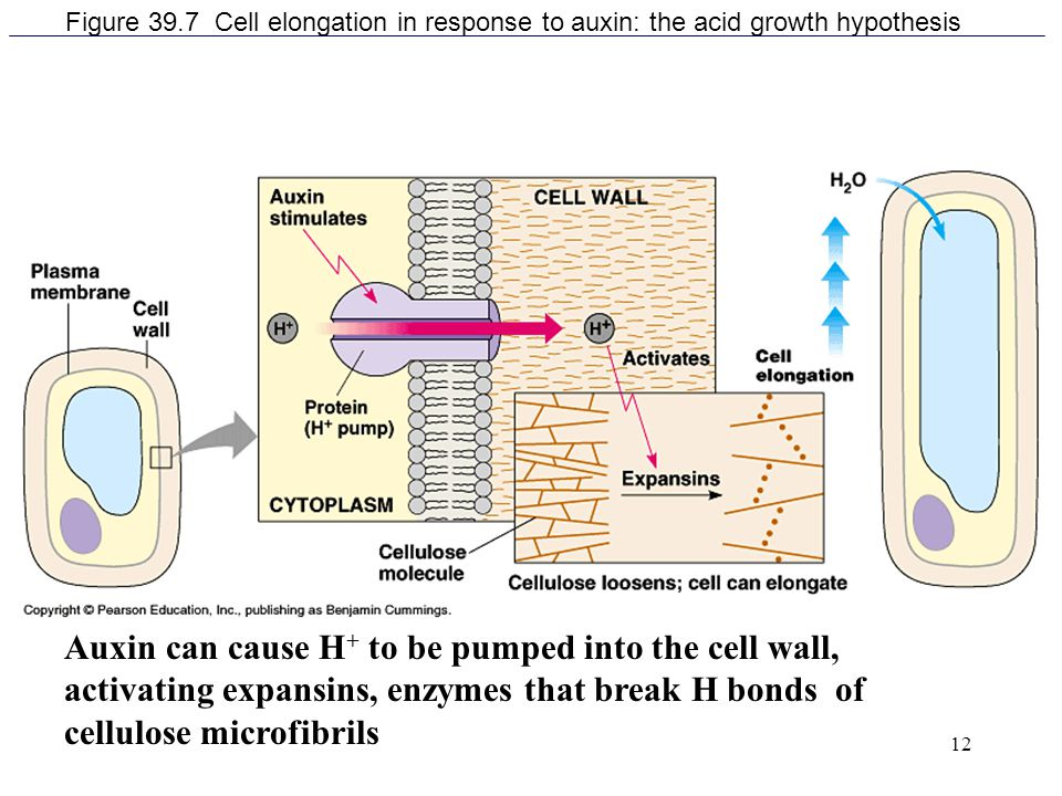 Figure 39.7 Cell elongation in response to auxin: the acid growth hypothesis