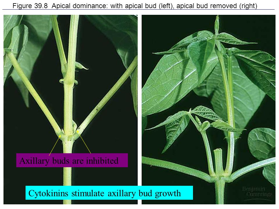 Axillary buds are inhibited
