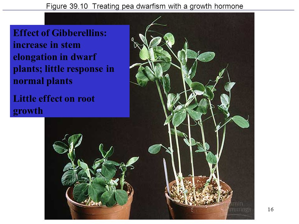 Figure 39.10 Treating pea dwarfism with a growth hormone