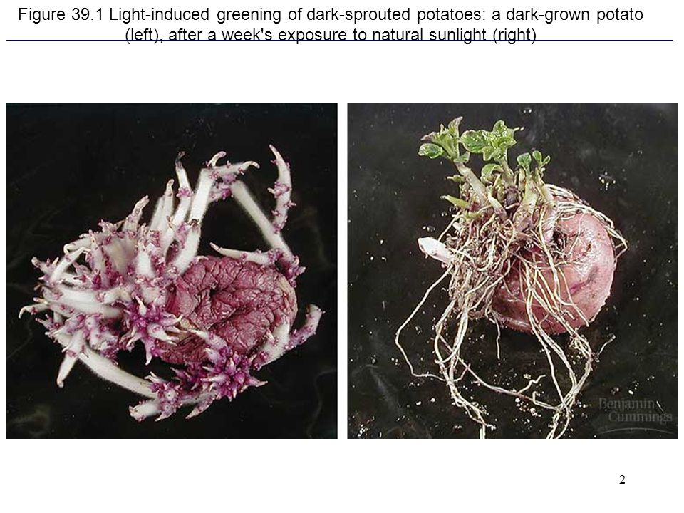 Figure 39.1 Light-induced greening of dark-sprouted potatoes: a dark-grown potato (left), after a week s exposure to natural sunlight (right)