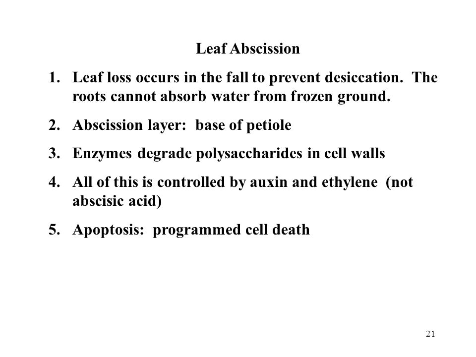 Leaf Abscission Leaf loss occurs in the fall to prevent desiccation. The roots cannot absorb water from frozen ground.
