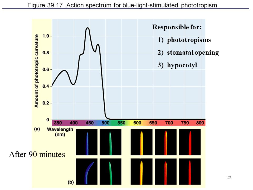 Figure 39.17 Action spectrum for blue-light-stimulated phototropism